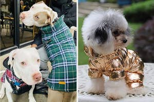 Two panels showing two pitbulls wearing matching plaid coats and a small white dog wearing a metallic gold snowsuit