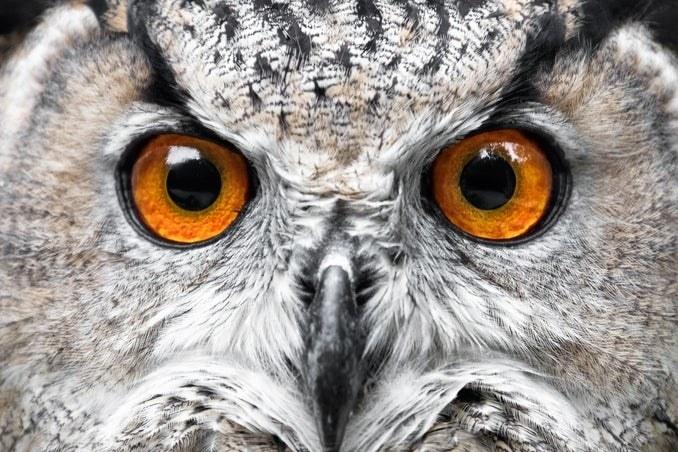 Owl with orange eyes