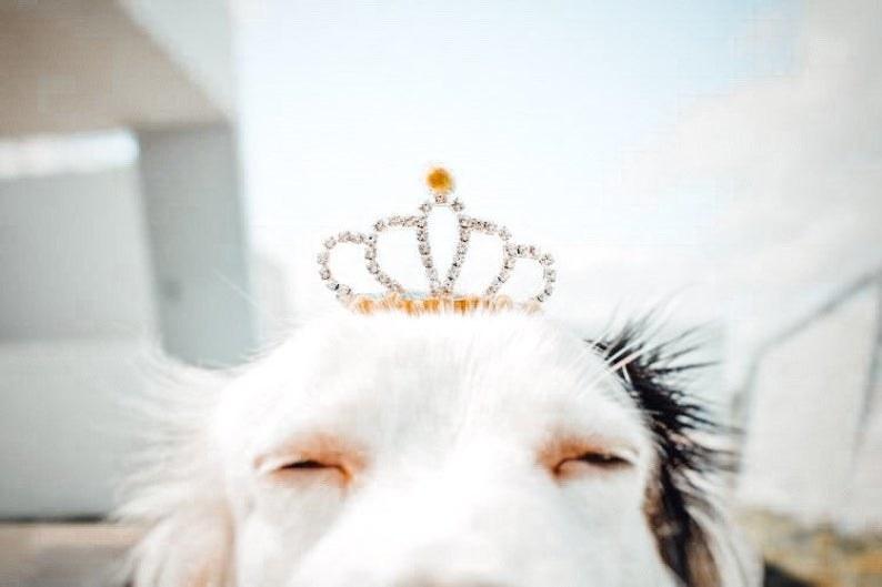 Dog wearing TwinkyPaws crown