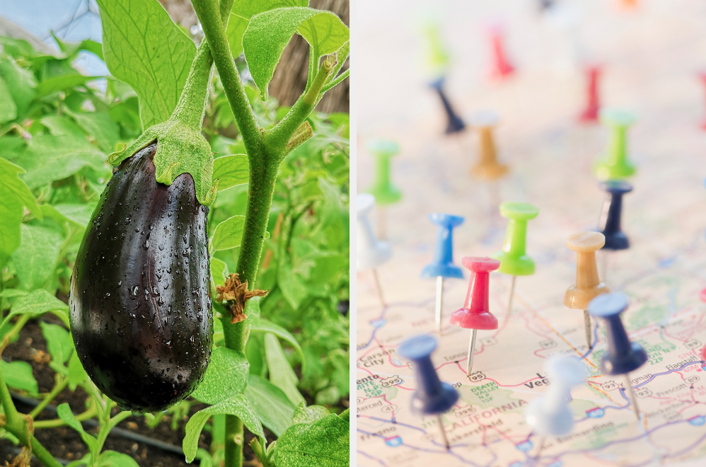 Eggplant growing and map covered in pins