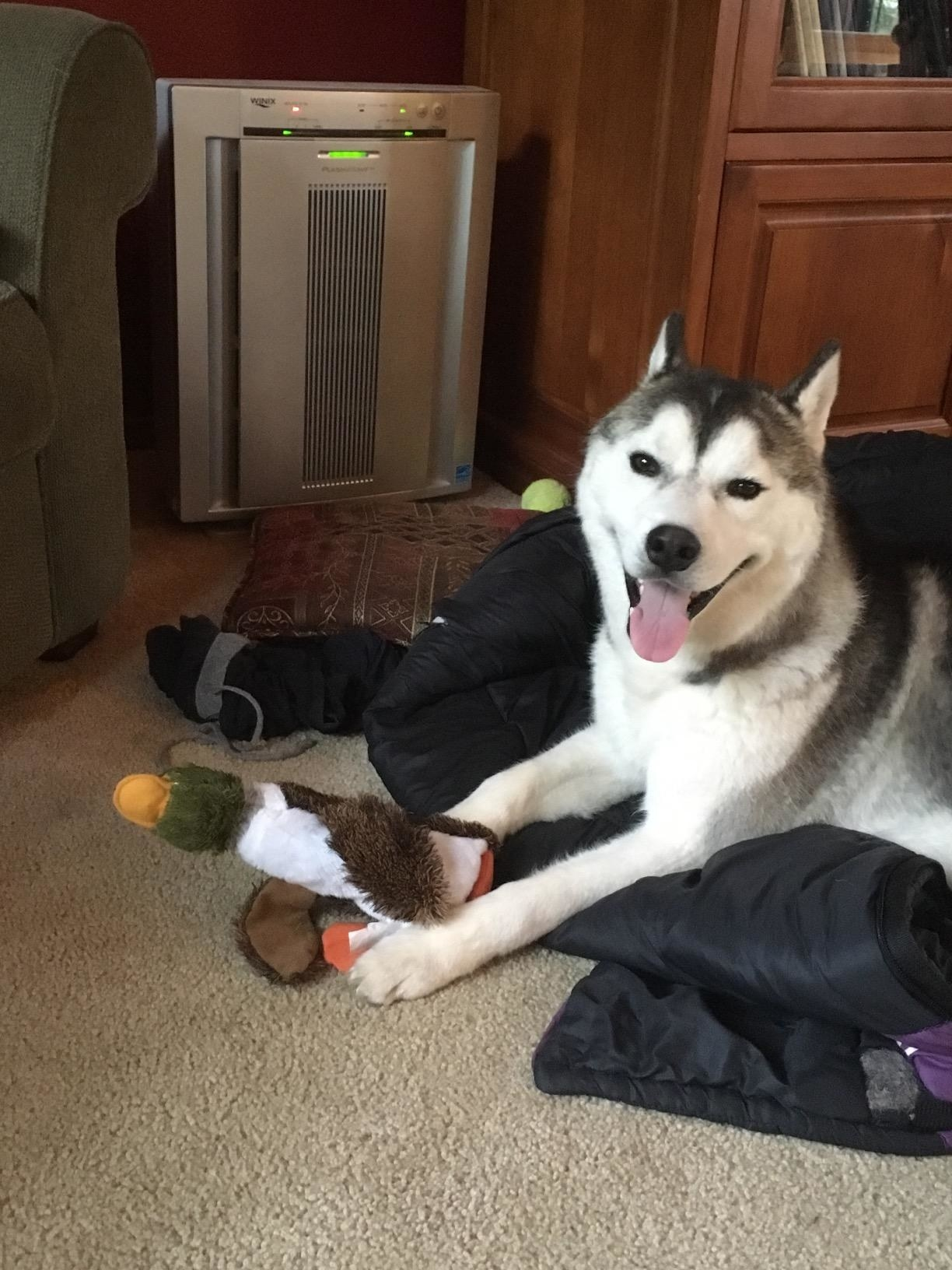 A happy dog with their duck toy