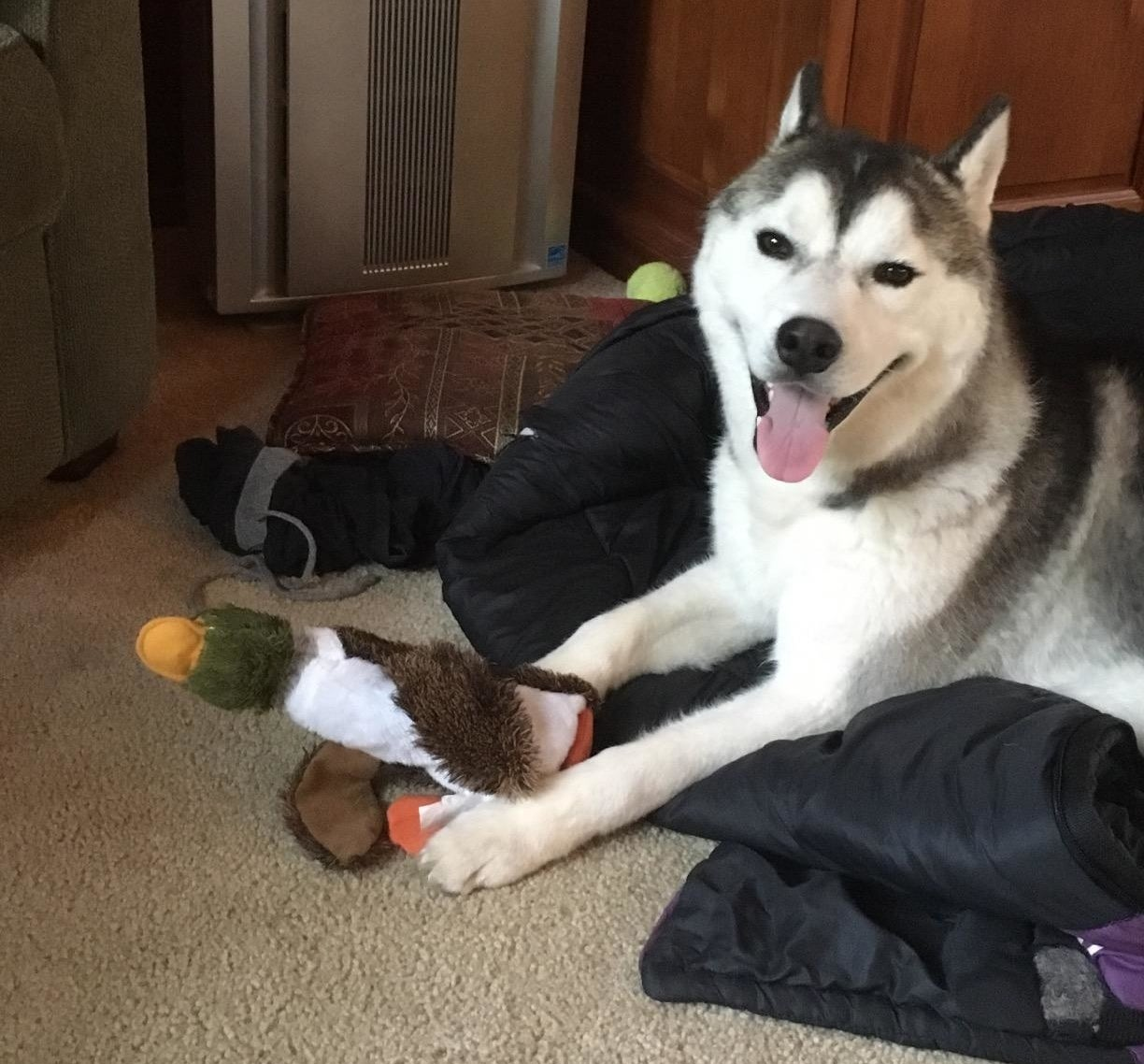 reviewer pic of a happy dog holding a duck toy between their paws