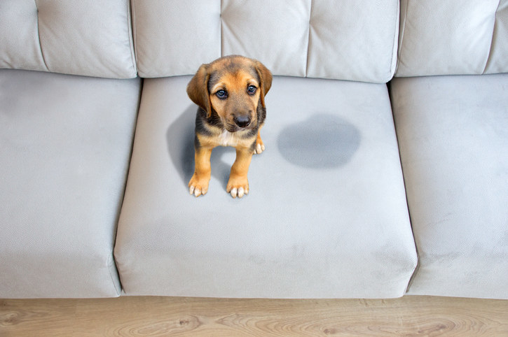 a puppy sitting next to a wet spot on the couch