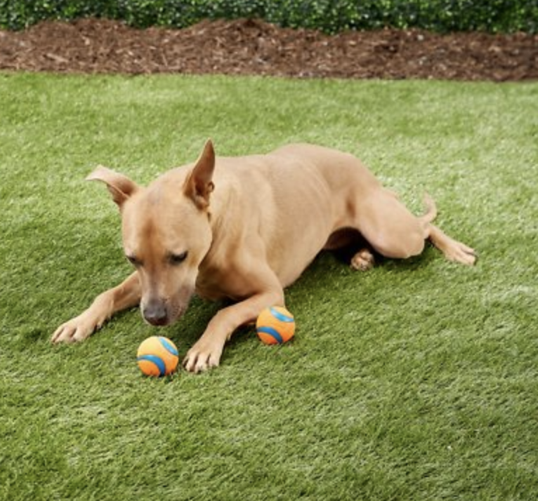 Dog playing with orange tennis ball-sized ball
