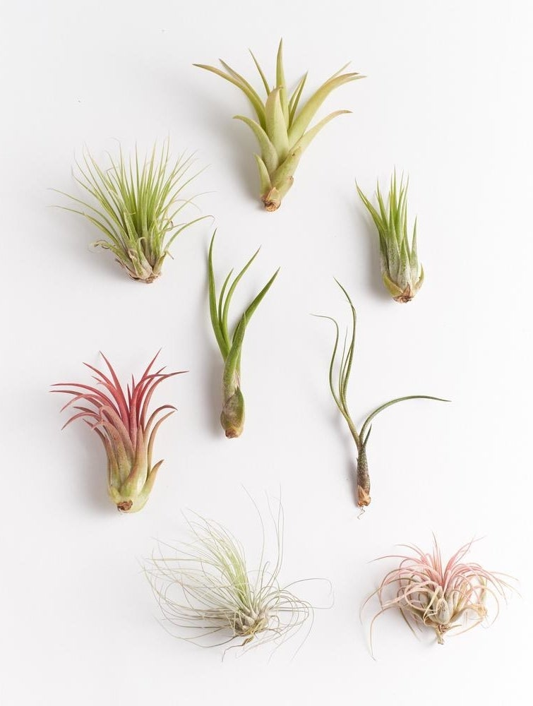 A set of eight air plants