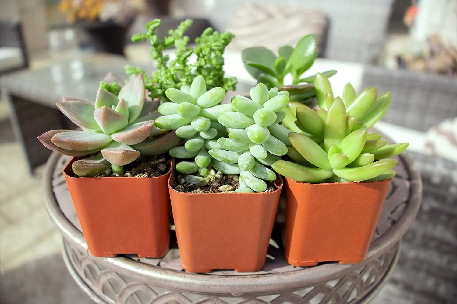 the five succulent plants that come in the set
