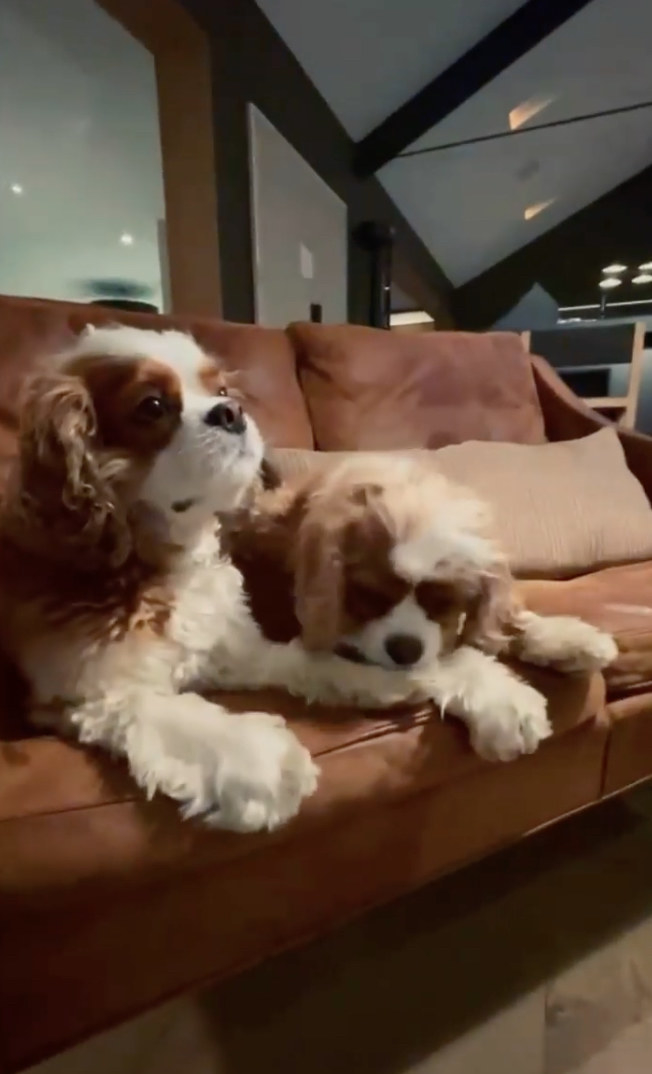 Courteney Cox's dogs sitting on a couch