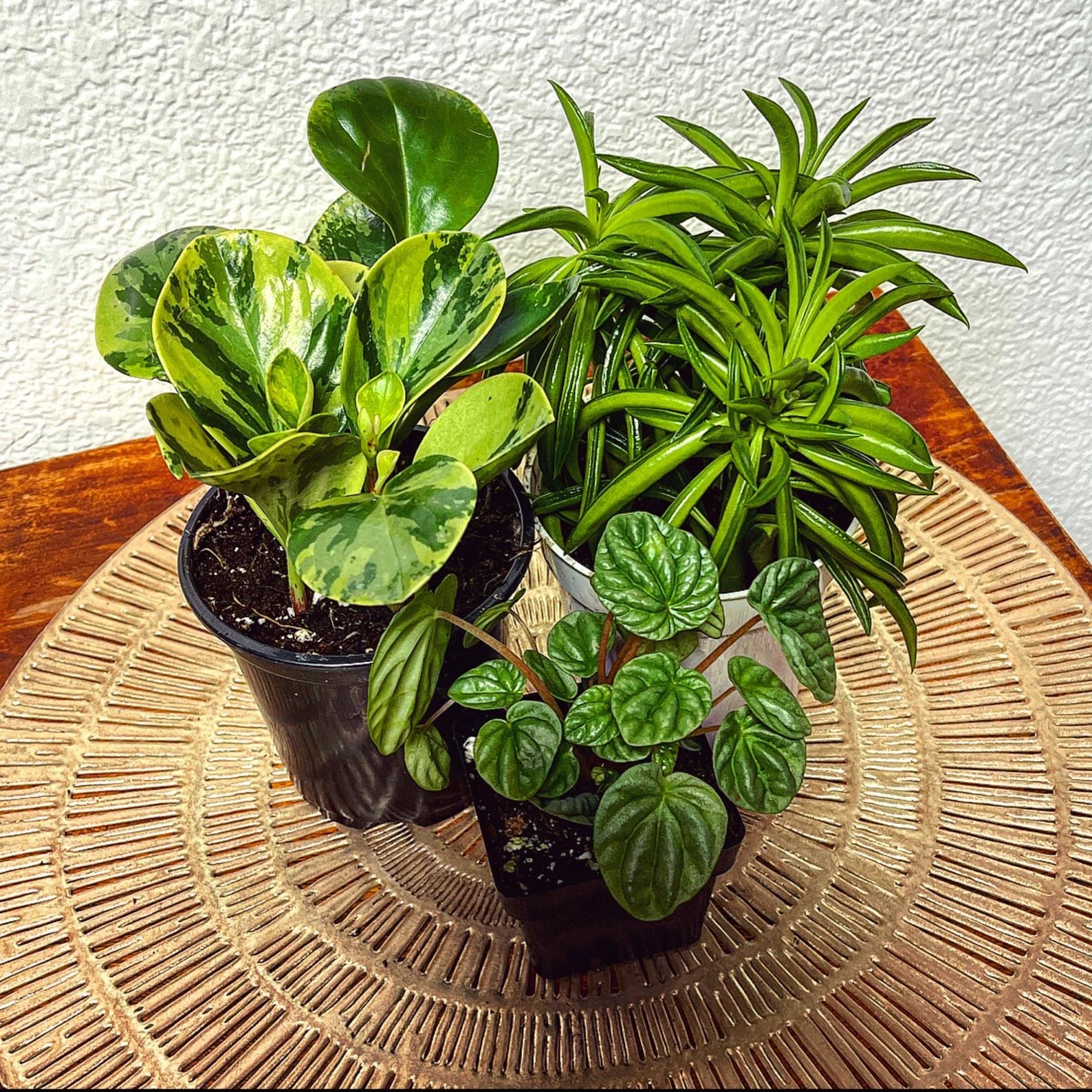 Three plants on a table