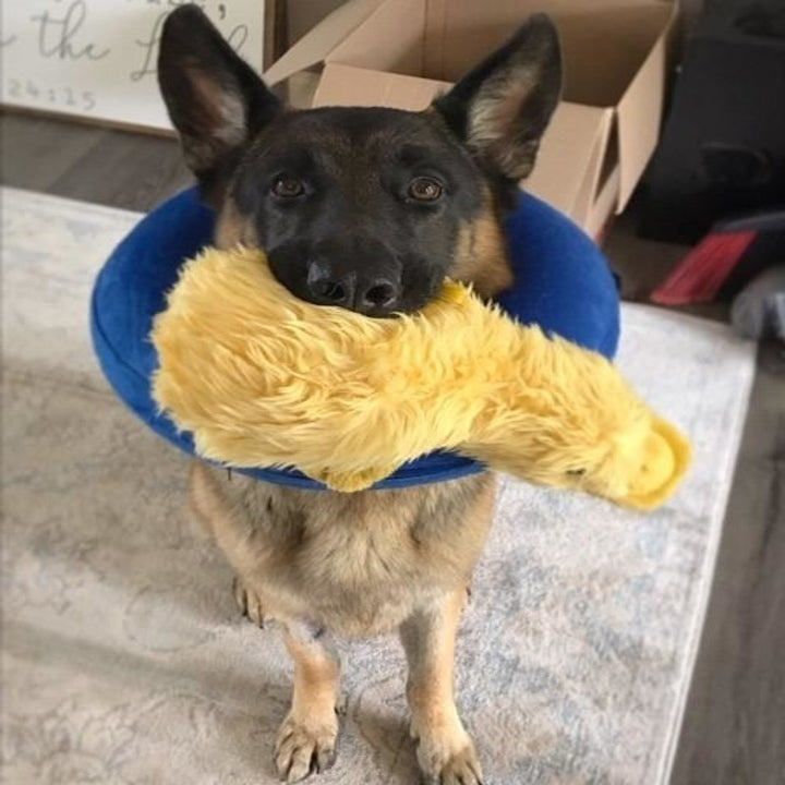 German shepherd with the yellow duck in its mouth