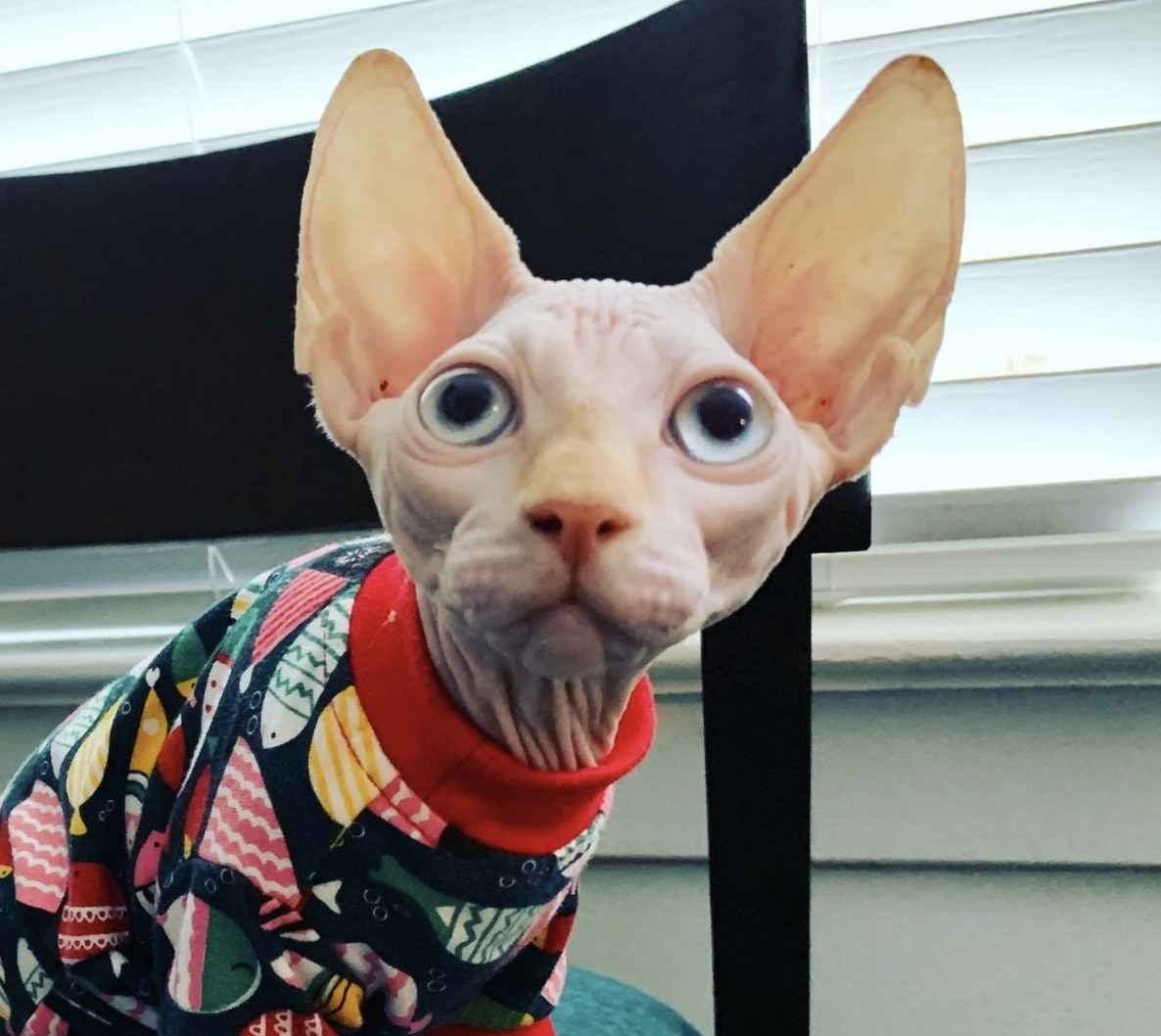 A hairless cat in pajamas