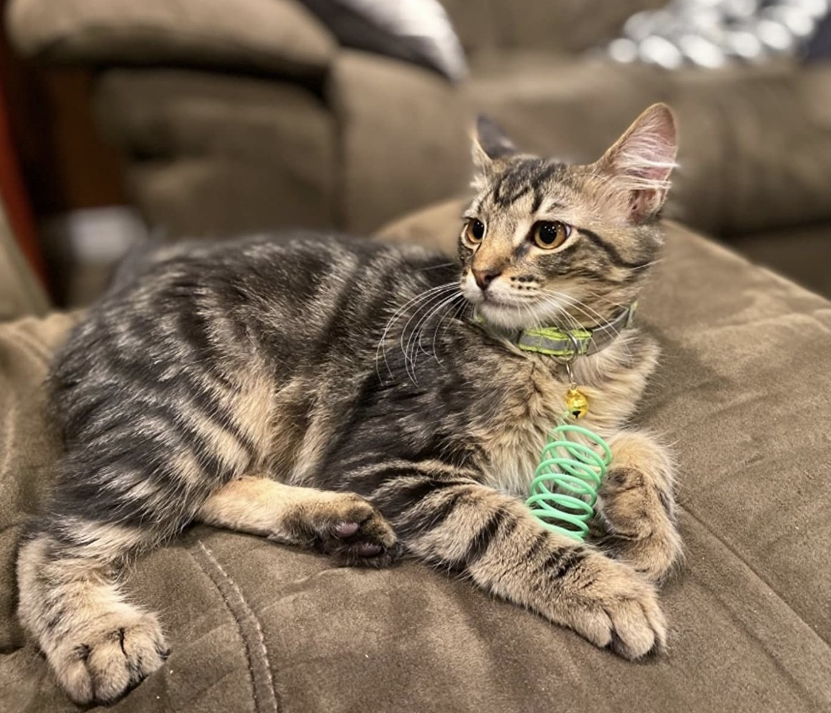 A cat holding a green spring toy