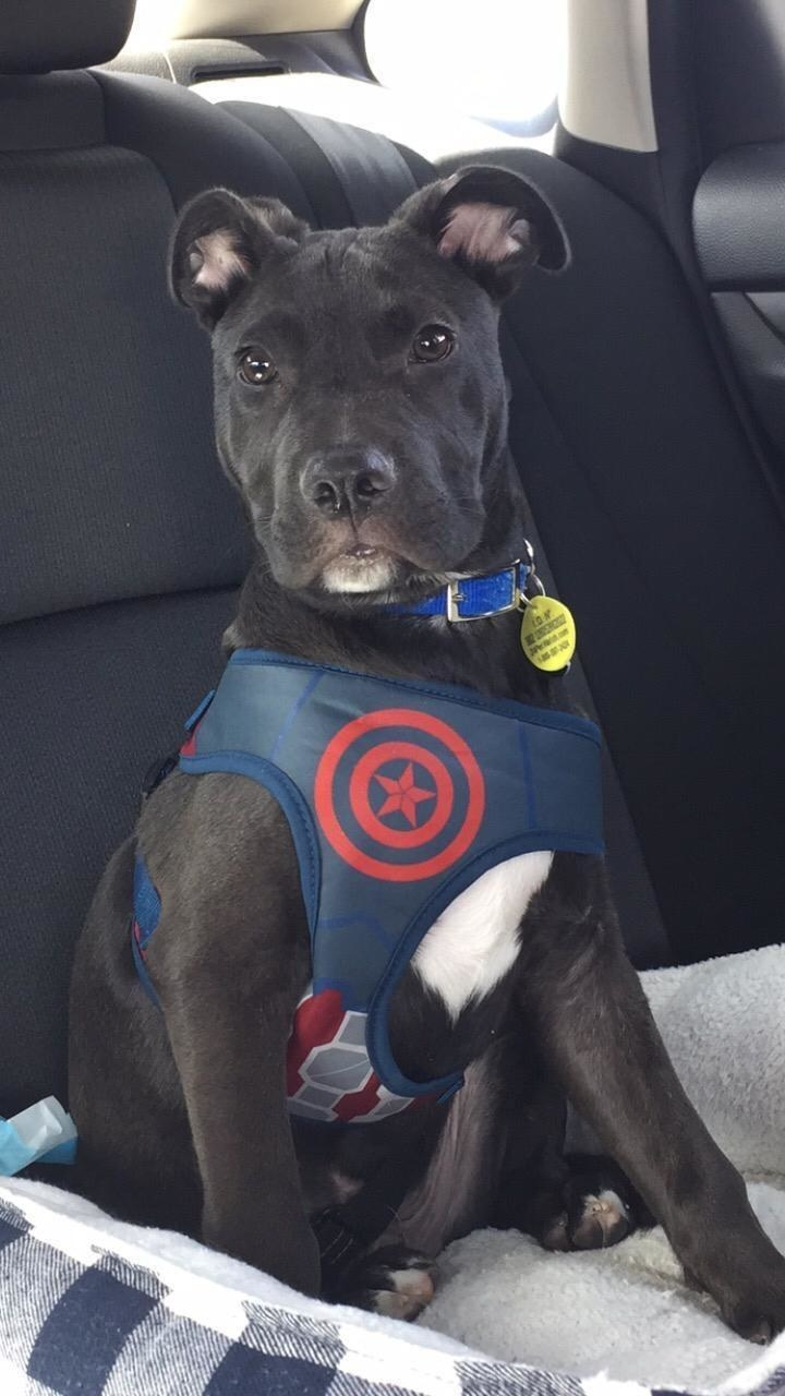 A dog in the Captain America harness