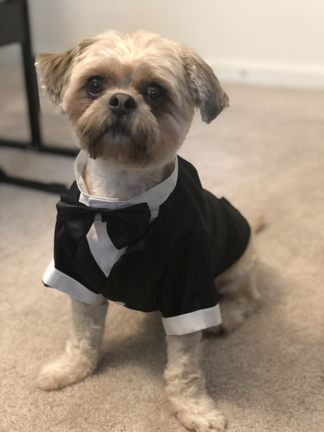 A dog in the tuxedo, which looks like a real tuxedo with black jacket, white shirt, and black bow tie
