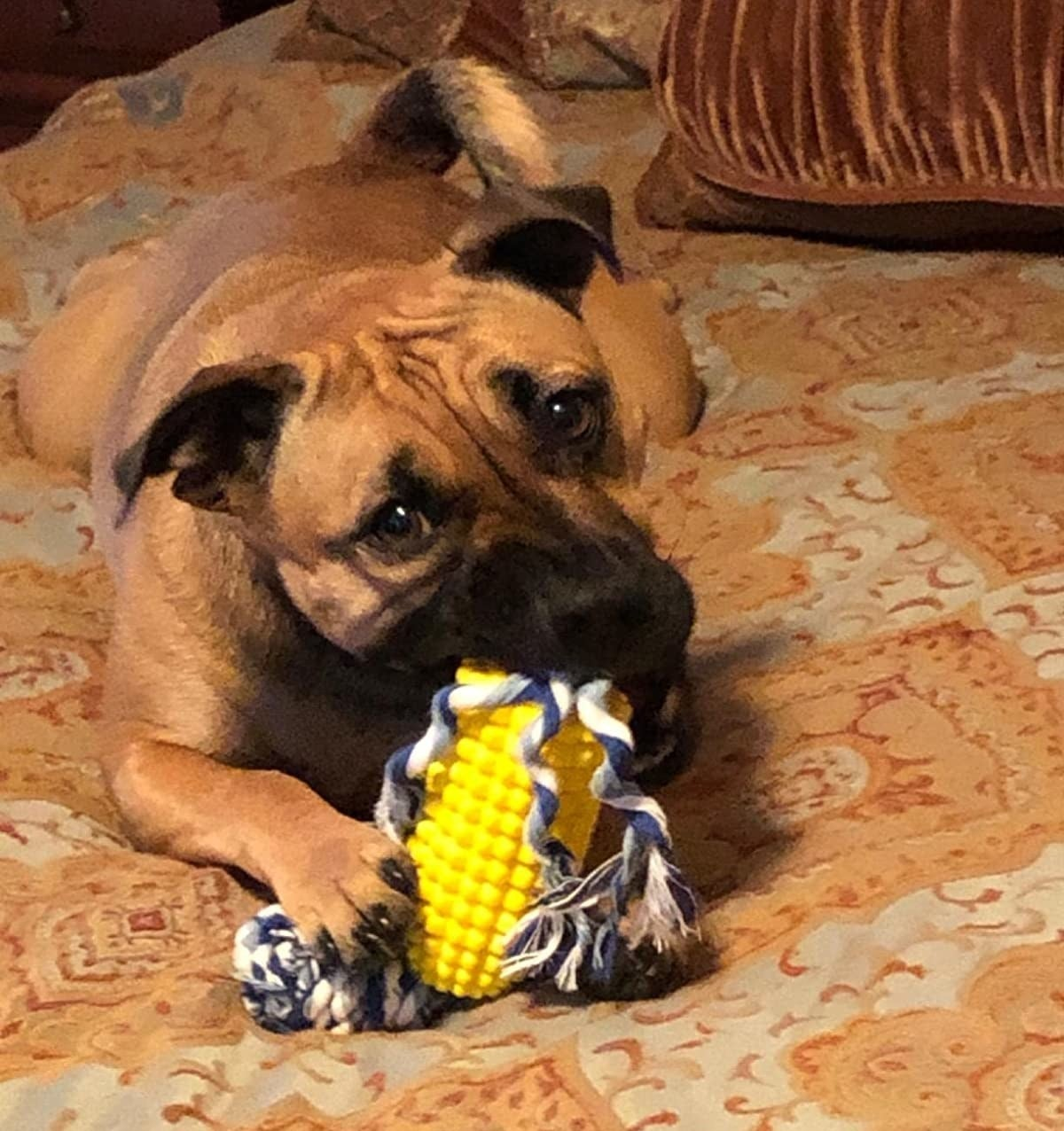 A dog chewing on the toy, which is shaped like an ear of corn on the cob, with a hollow center with a rope running through it