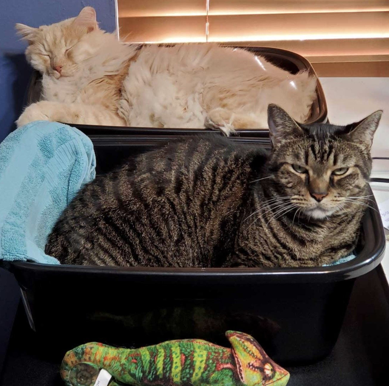 two cats lounging in black plastic basins