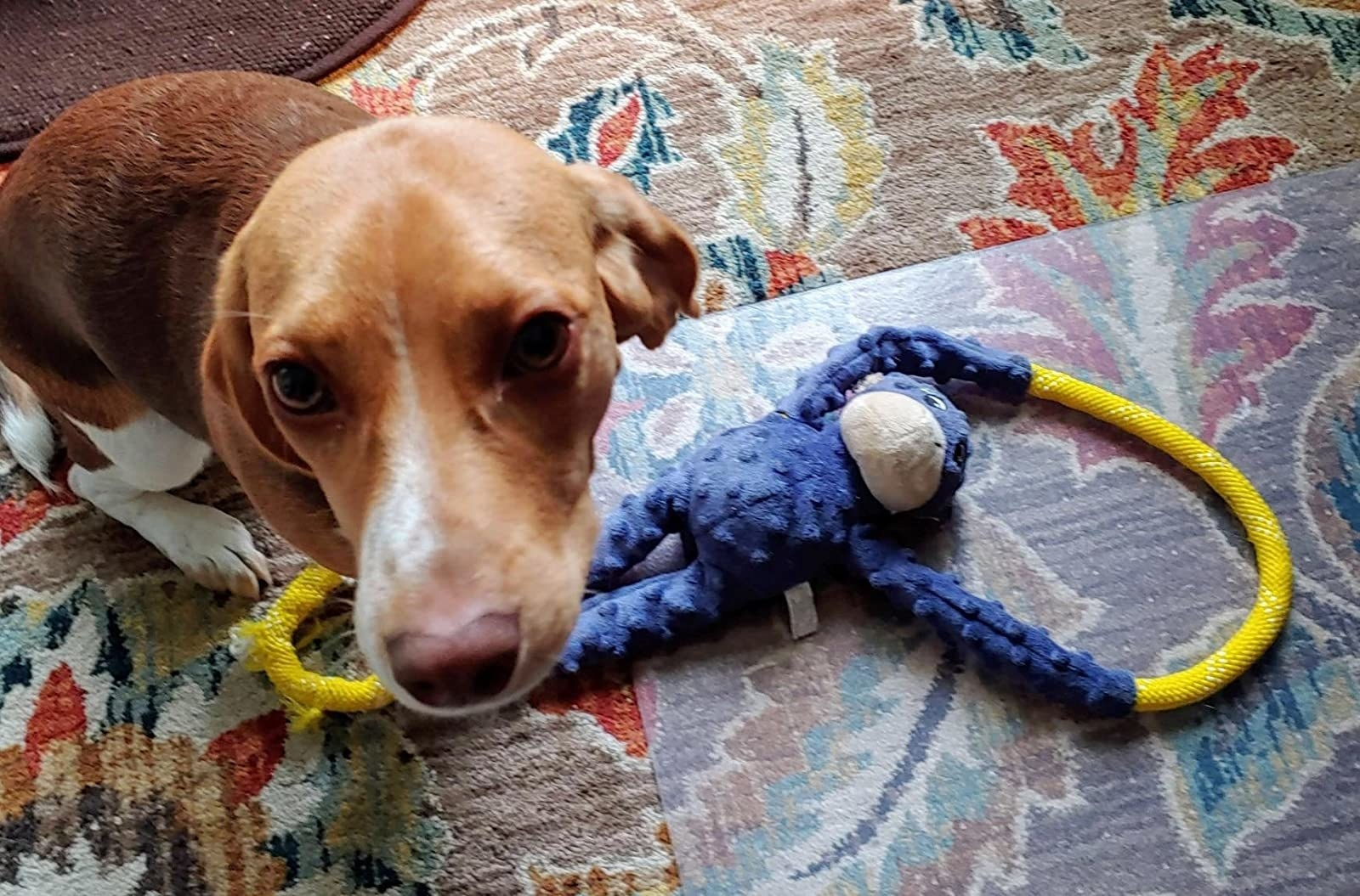 A dog plays with the toy, which is a stuffed money doll with rope loops extending between its arms and legs