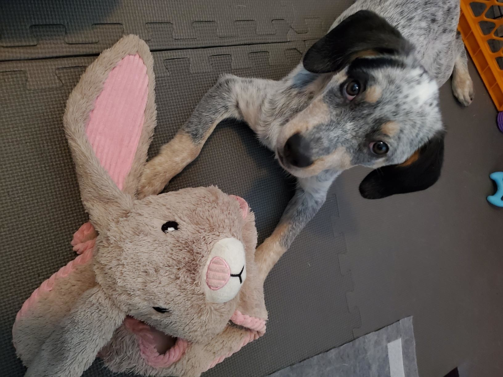 A dog plays with the toy, which has a plush stuffed animal head, and thin plush body for tugging