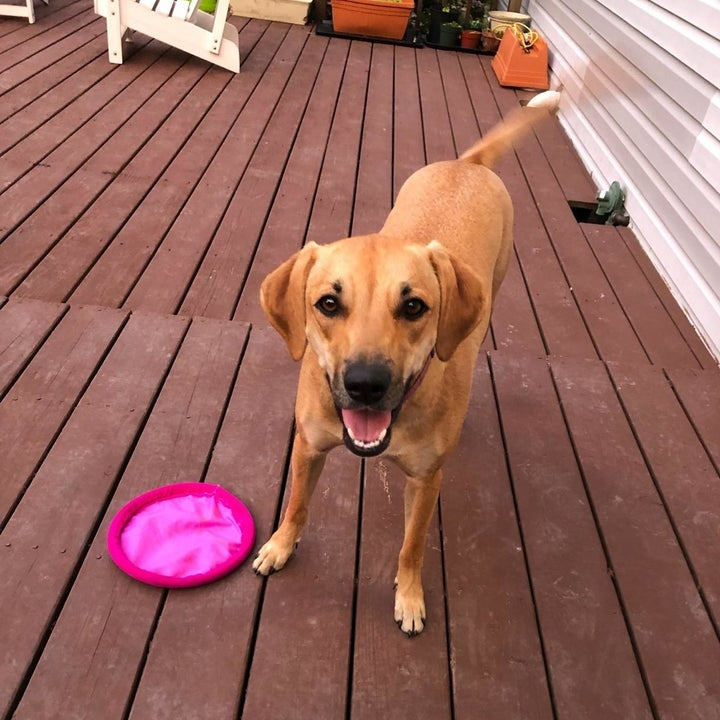 A dog plays with the frisbee, which is made of soft, nylon-like material