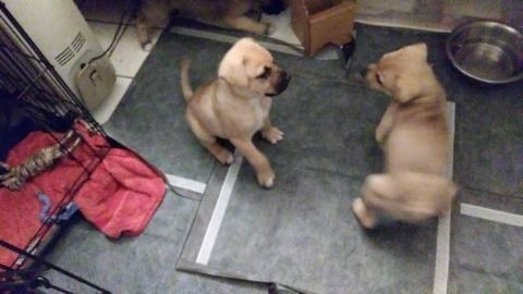 Two puppies playing on a mat covered in the pads