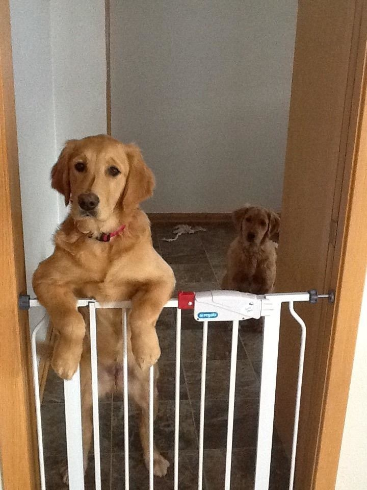 Two dogs, one leaning over the top of the gate