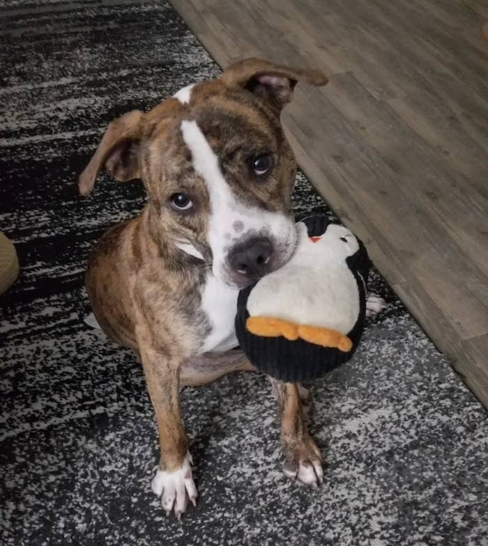 A dog holding the penguin toy