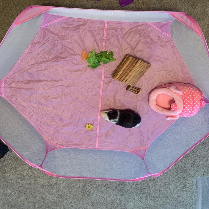 An above view of the pen with a guinea pig