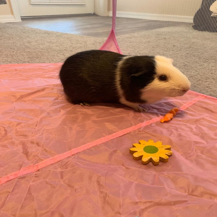 A guinea pig on the floor of the pen