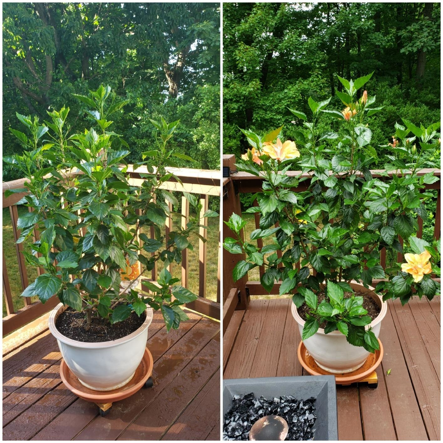 A hibiscus before Miracle Gro / the same plant after using the fertilizer