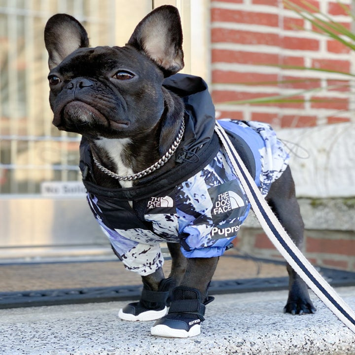 A small French. Bulldog wearing a jacket and black booties on their front paws