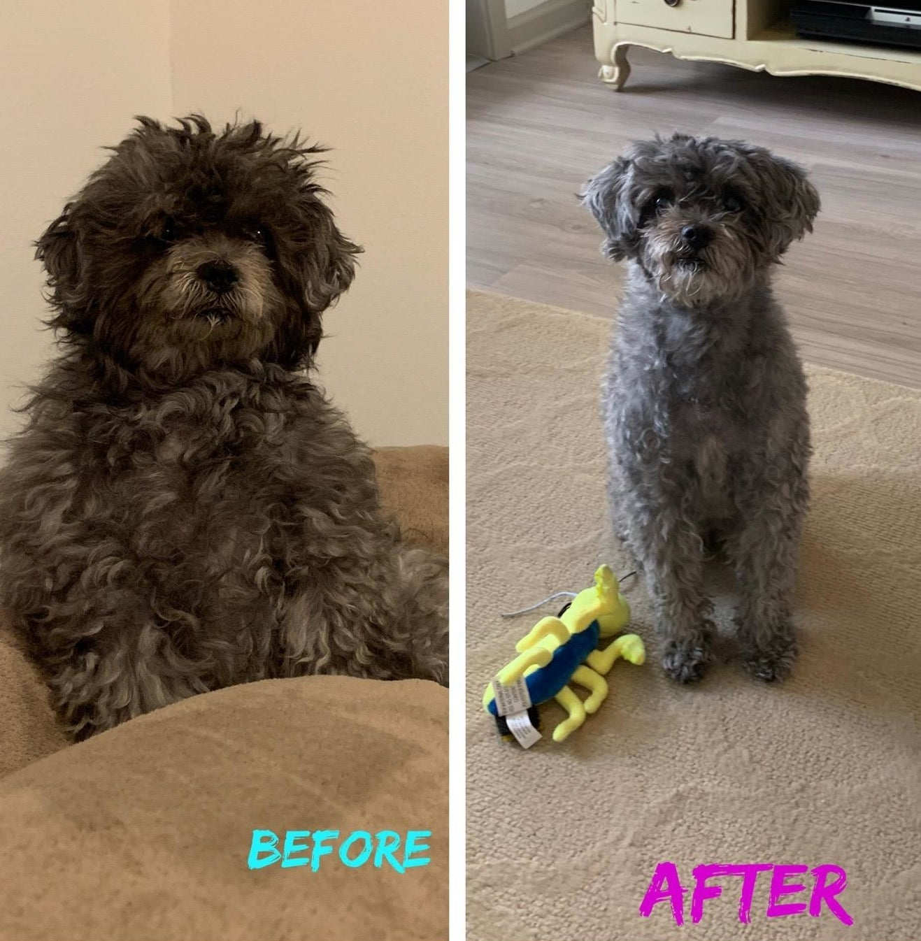 A dog before and after being sheared