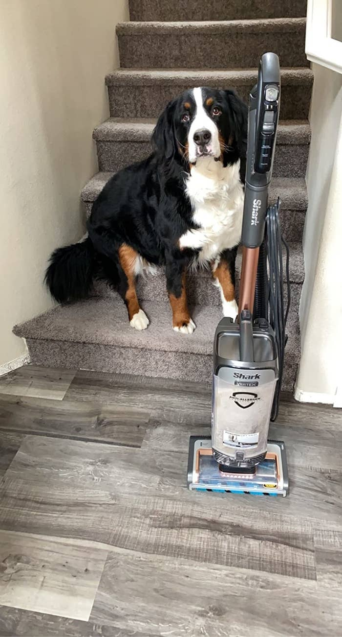 Reviewer photo of a dog next to the Shark upright vacuum for all surfaces with cord and rose gold features