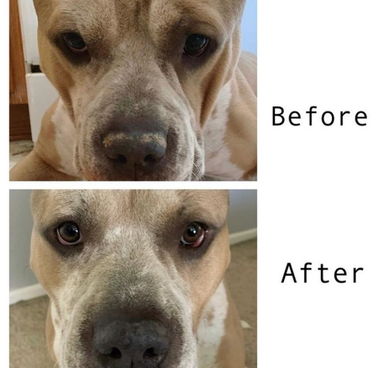 A dog's nose before and after using the balm