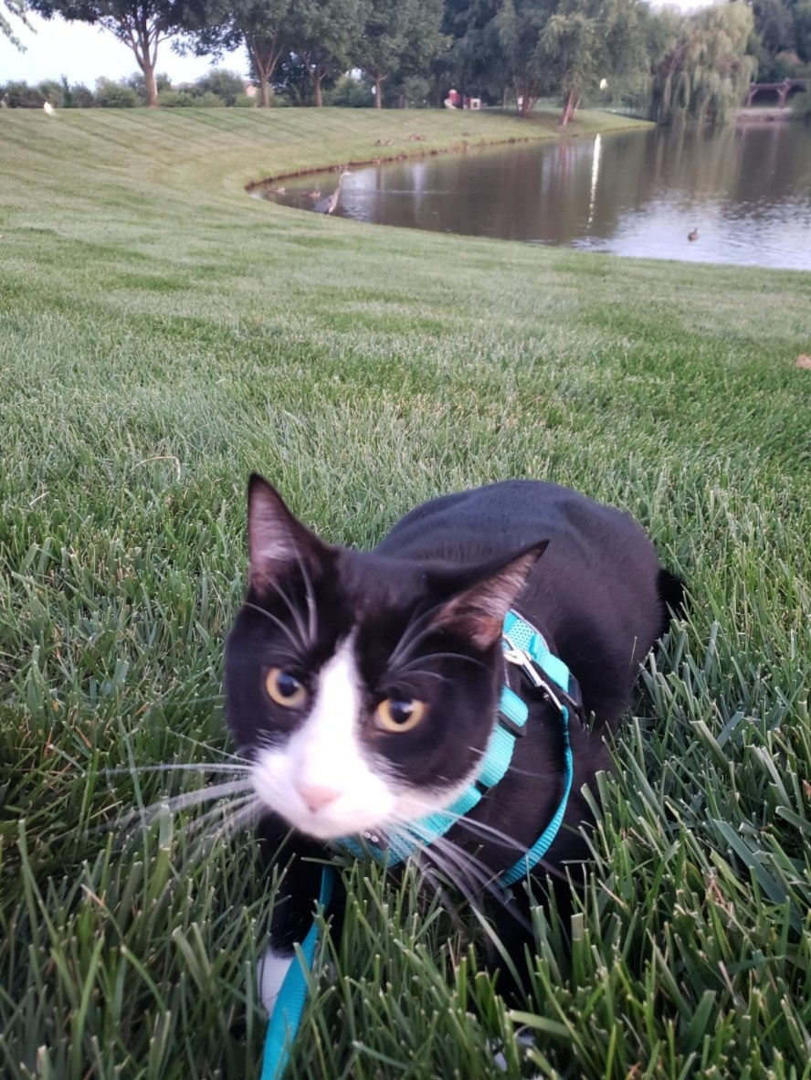 The cat harness and leash in emerald