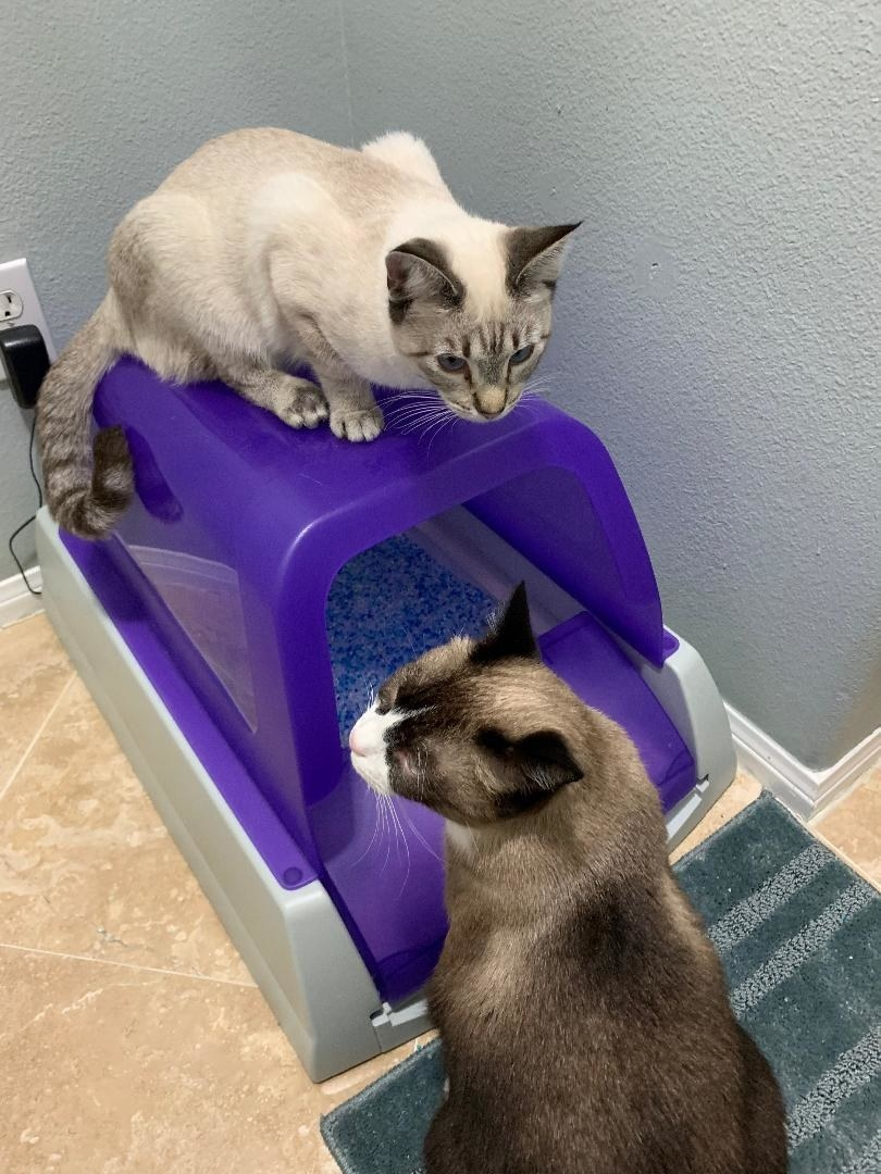 Two cats inspecting the purple litter box