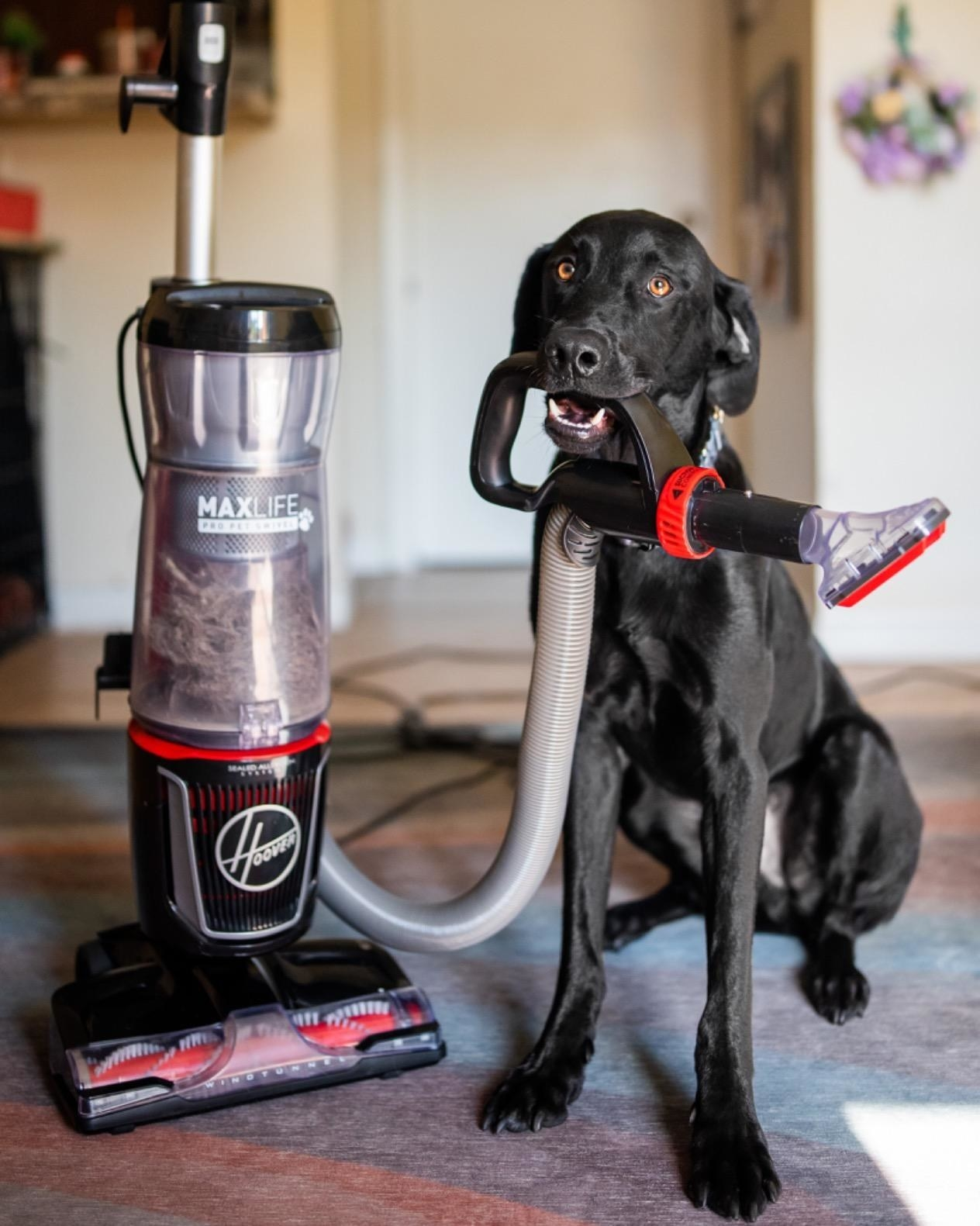 Reviewer's dog with upright, bagless  red and black Hoover vacuum