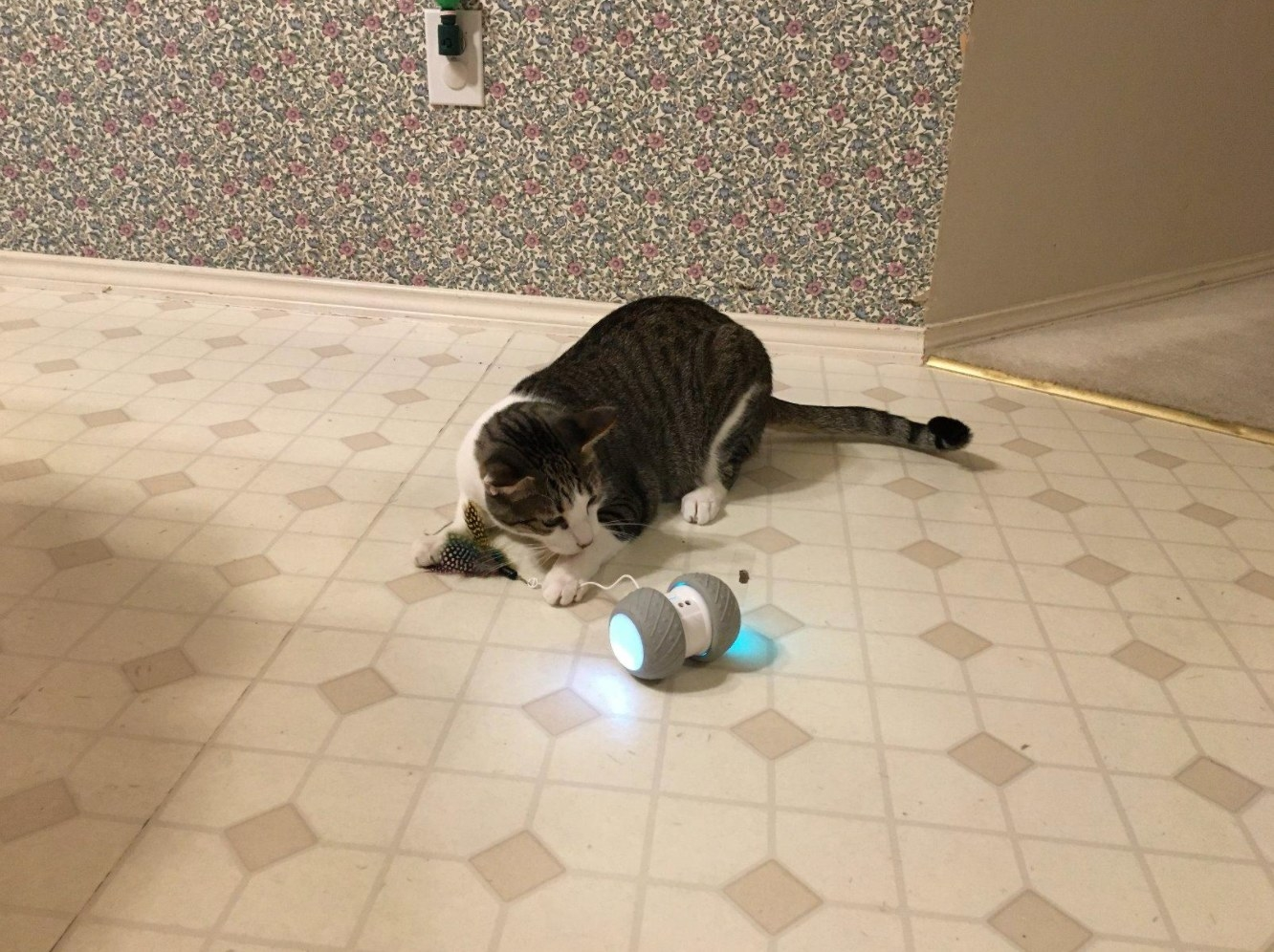 cat chasing the wheeled robot with a hanging string