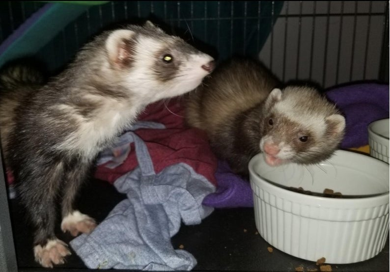 two ferrets eating in a reviewer's home