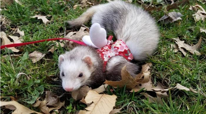 A grey and white ferret in a red harness with angel wings