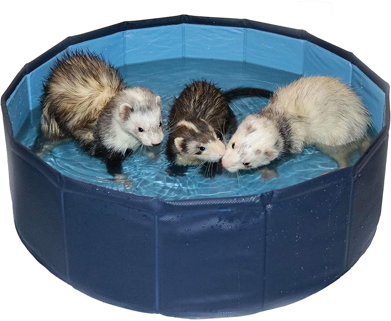 Three ferrets playing in a ferret pool
