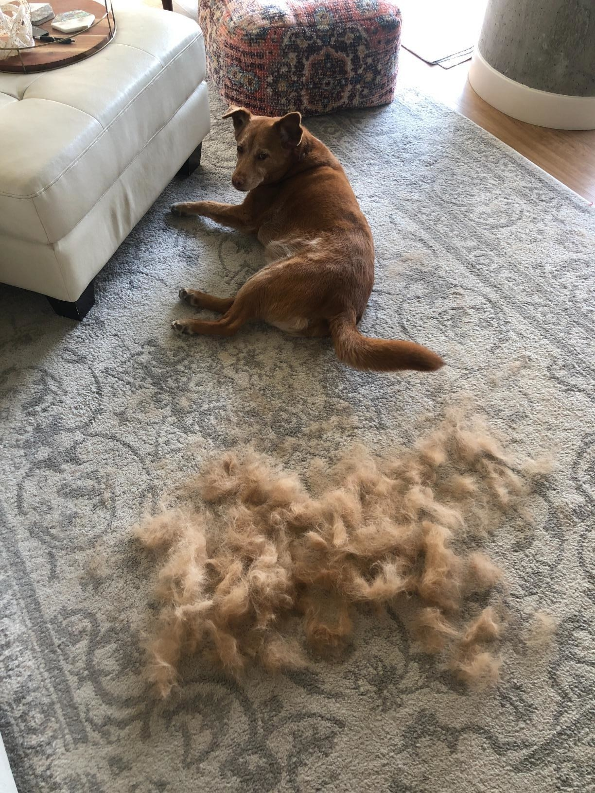 reviewer photo of dog looking at all the fur groomed off