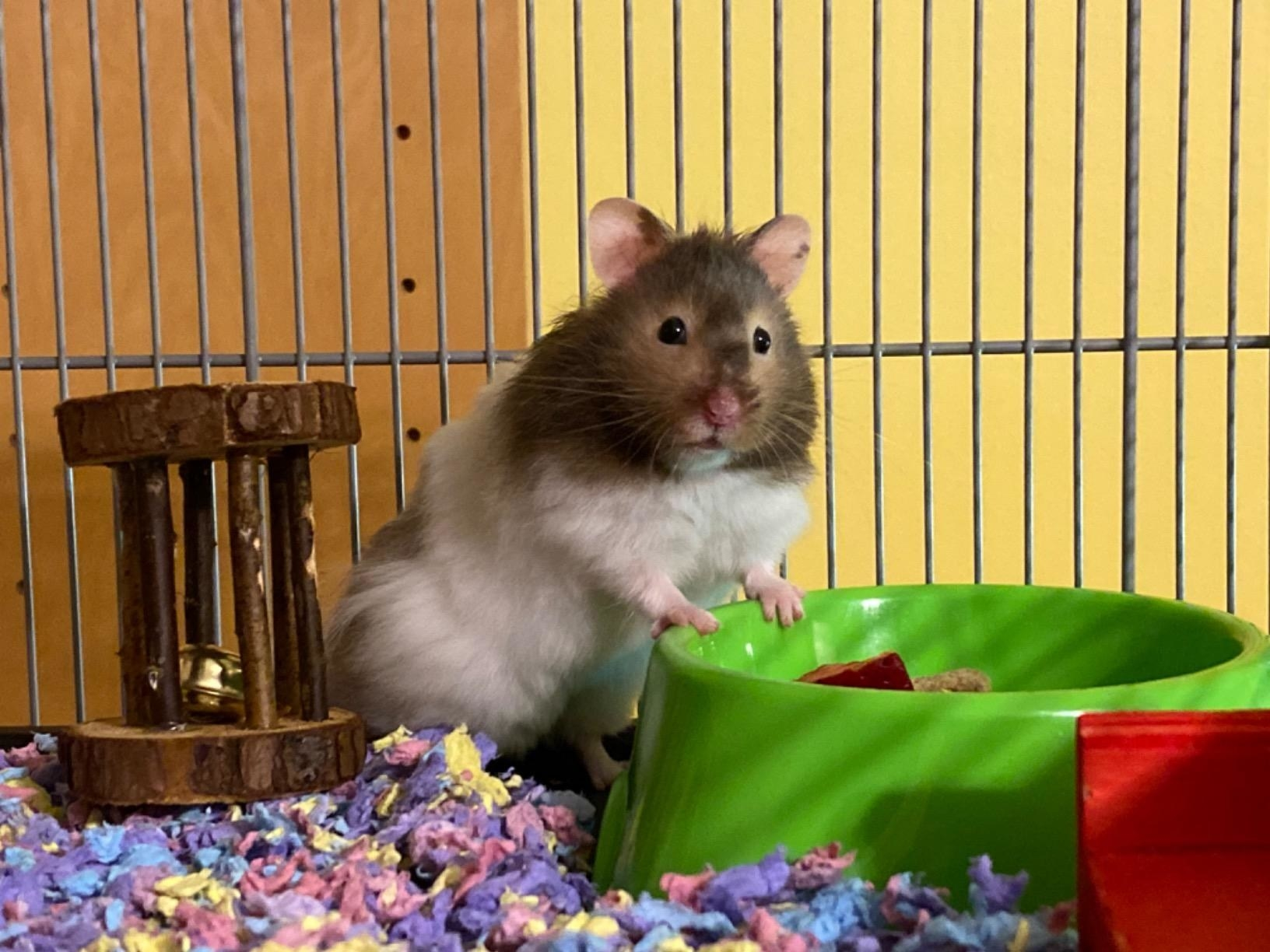 A hamster with his toys on the colorful bedding