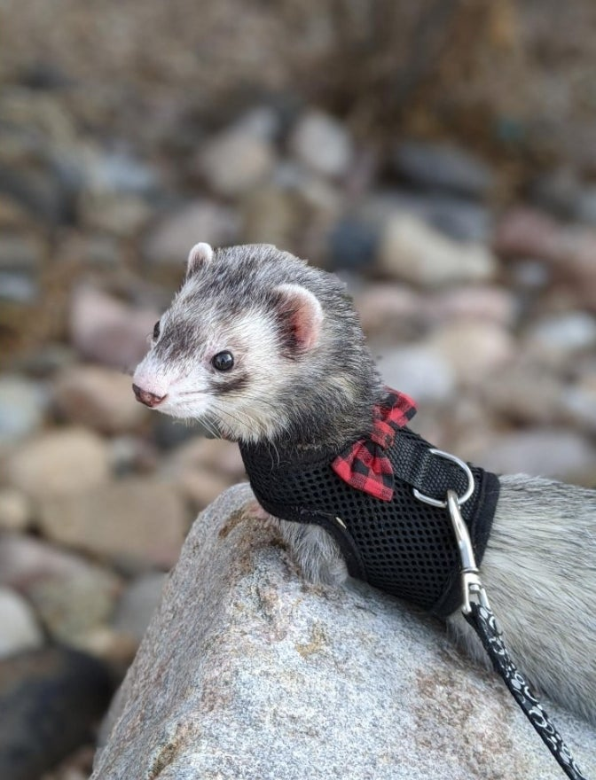A ferret looking stylish in their harness with a bow