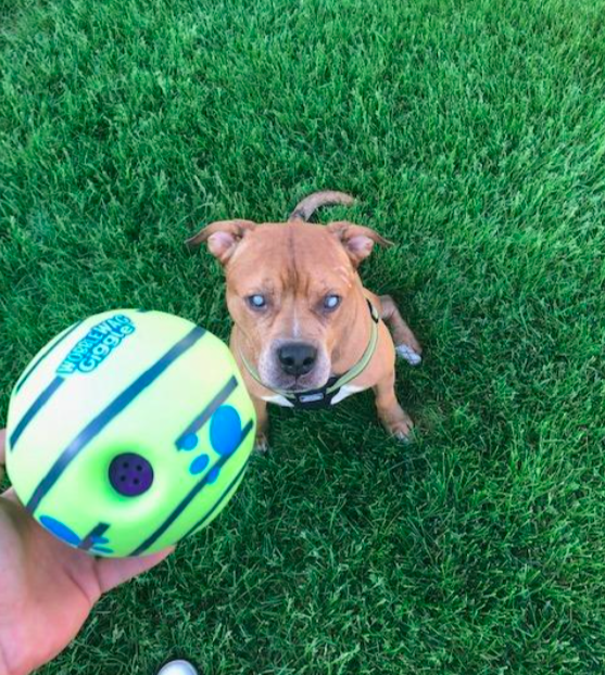 Reviewer holding the ball in front of their dog while playing outside
