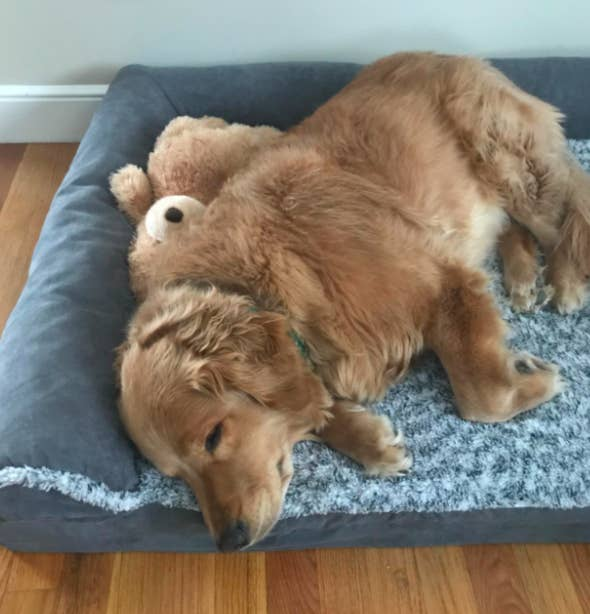 Reviewer's golden retriever lounging in the bed