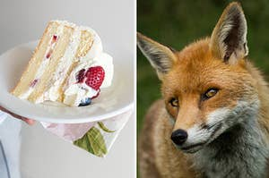 A vanilla slice of cake is on the left with a fox smiling on the right