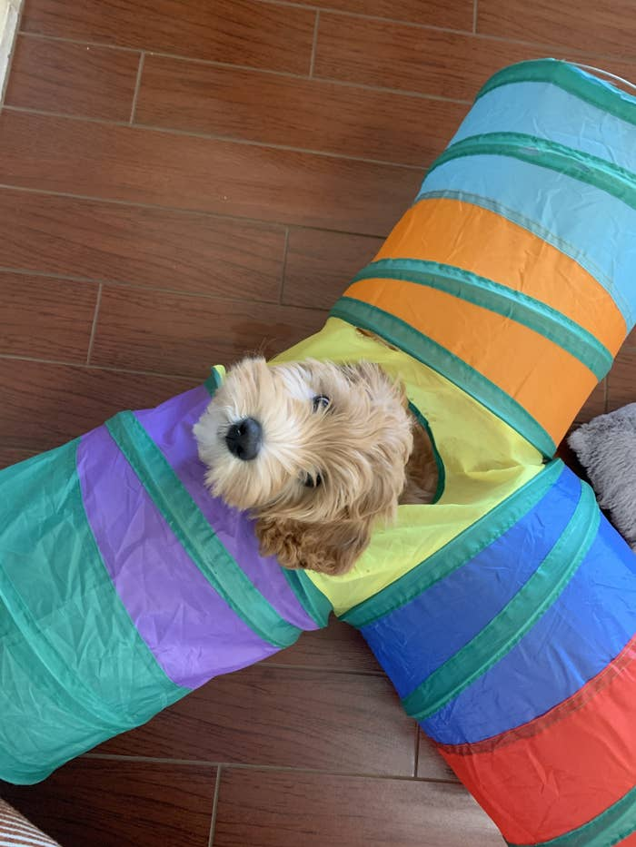 a cute fluffy puppy playing in a tunnel and looking at you all sweet