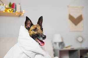 A dog is wrapped in a white blanket in a bedroom.