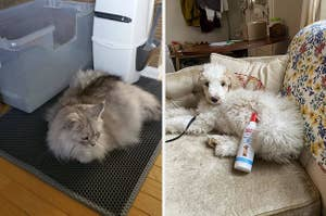 to the left; a cat on a mat, to the right: a dog on a couch with spray