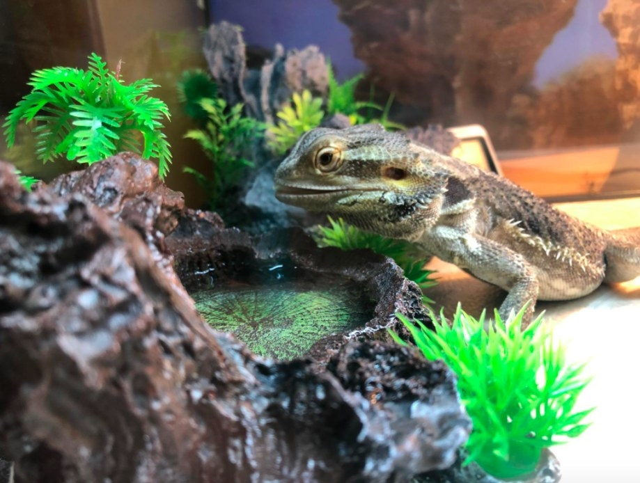 bearded dragon at a water bowl in a tank