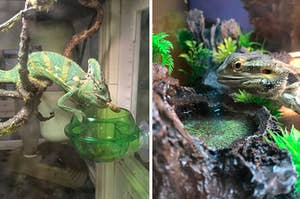 chameleon eating out of a green feeder on the left and a lizard on the right drinking out of a water bowl